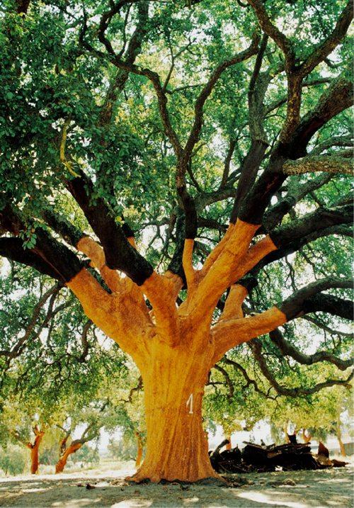 whistler tree cork tree